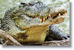 Não se pesca crocodilo com anzol
